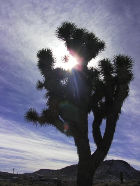 Joshua Tree In Sun